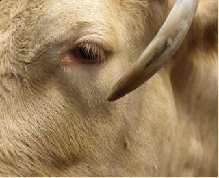 Rinderbestände
