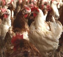 Hühnerbestand